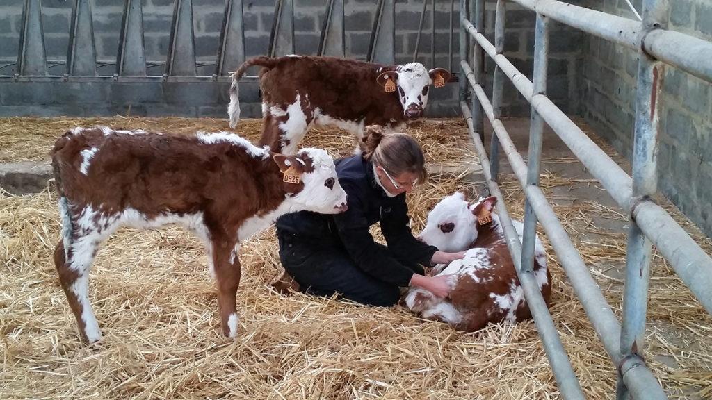 Femme qui pratique de l'ostéopathie bovine