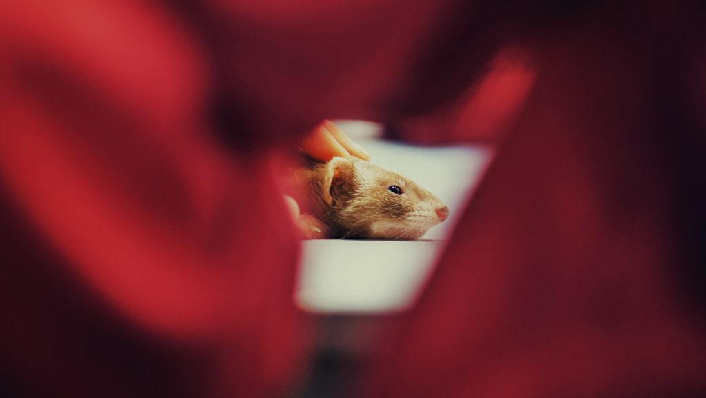 Pratique d'ostéopathie animale sur un vison